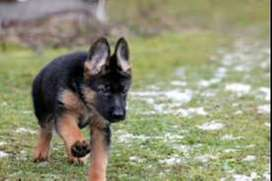 Pastor aleman perro bebé de 45 días de gran energía y obediencia