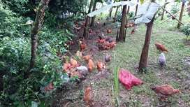Gallinas criollas mejoradas  doble propósito  carne y huevos con 12 cemanas de edad
