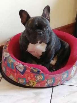 Servicio Monta bulldog francés