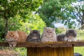 Vendo hermosos gatos persas de excelente genética