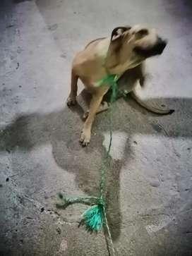 Vendo perro raza labrador