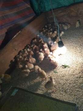 Vendo pollos camperos adultos