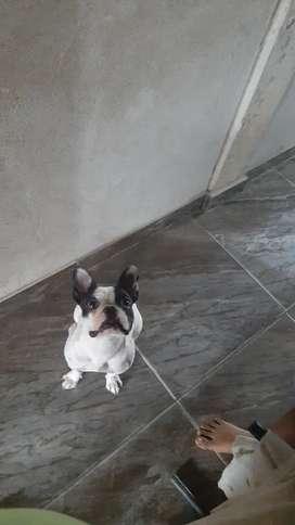 Linda bulldog frances busca novio