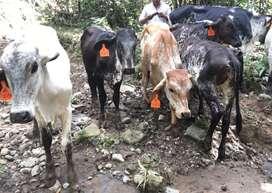 Vaconas girolandas gyr3/4 de 8 a 12 meses de edad todas de buenas lineas lecheras