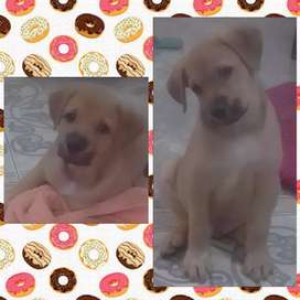 Vendo cachorro raza labrador mestizo de dos meses de nacido.