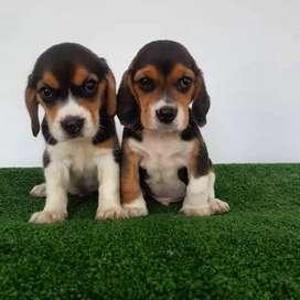 Amigables Beagles
