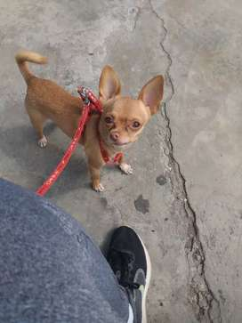 Chihuahua mini para servicio de monta. NO VENDO