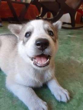 cachorro lobo siberiano