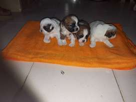 cachorros shitzu mini