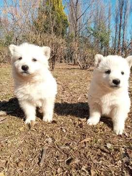 Vendo cachorros pastor alemán blanco