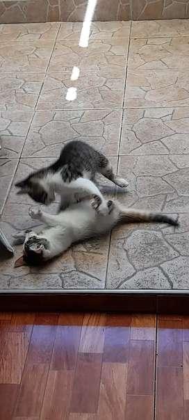 Vendo gatos macho y hembra de 2 meses de nacimiento