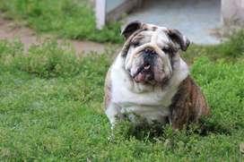 Bulldog Conde para Montas.
