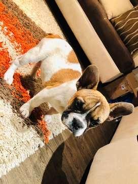 Bulldog Frances Pied Faw