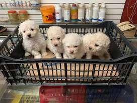 FRENCH POODLE MINI TOY BLANQUITOS Son los más hermosos y bellos cachorros de la raza 100% puros, con su esquema de vacun