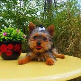 Yorkshire terrier mini macho disponible