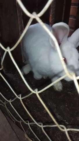 Conejos  machos y hembras