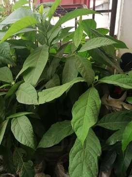 Plantas de palta