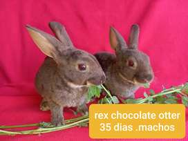 Conejo rex chocolate otter