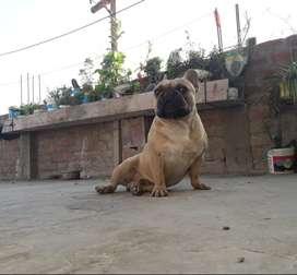 servicio de monta bulldog frances
