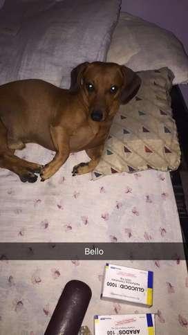 Perro Salchicha Busca Novia