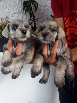 Bellos cachorritos schnauzer disponibles puros