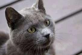 Gato raza ruso azul edad 10 meses en adopción