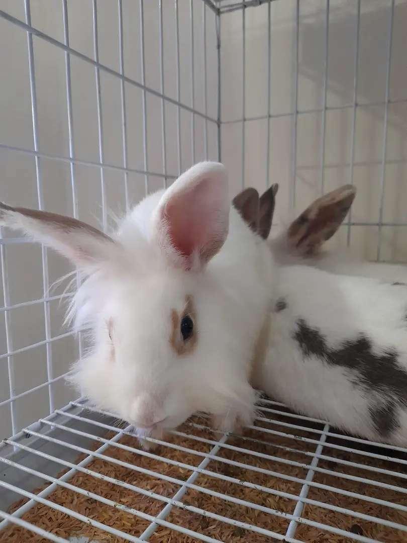 Conejos minires, mininuevazelanda
