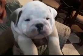 Bulldogs Ingles de 3 meses