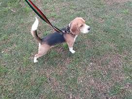 Beagle 2 años