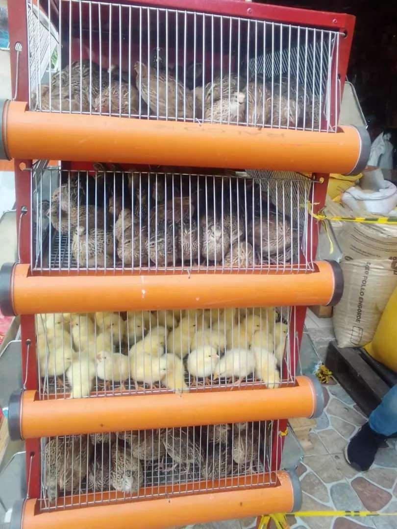 Pollos de engorde 0