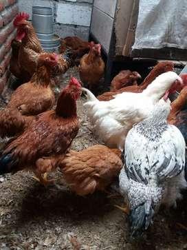 Se vende gallos y gallinas camperas y pollos de carne