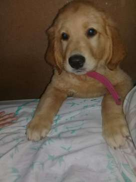 Vengo Golden Retriever