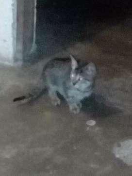 Gato con 3mes de vida