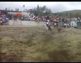Vendo Caballo Moro de Alta Escuela Rejoneador y Banderillero de estatura 1.50 a la cruz  de 8 años de edad Capón