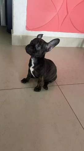 Se vende perro chihuahua