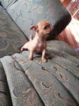 Vendo Chihuahua hembra