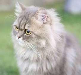 Gato macho persa montaner