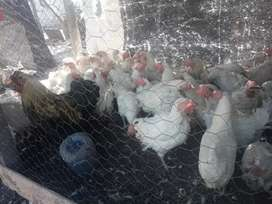 disponibles gallinas ponedoras 200 cada unas son de la plata ago envio a cargo del comprador