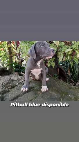 Pitbull blue espectacular