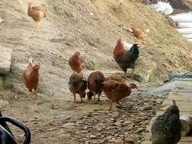 Venta pollo. Criollo