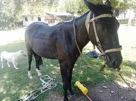 Vendo caballo manso de andar tiene 5 años