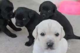 RAZA  cachorros Labrador a la venta puritos