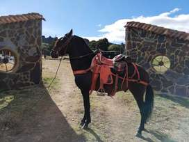 Se vende espectacular caballo ,trochador.