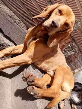 Hermoso perro raza ungaro, edad 1 año en adopcion