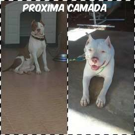 Pitbull red noues