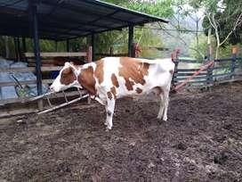Vendo vaca holteins roja de 2 partos