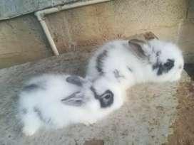 Venta de conejos cabeza de león de muy buena jenetica quedan muy pequeños y garantizados
