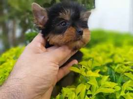 Divinos Yorkshire TERRIER  súper mini