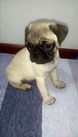 Perro pug, cachorro de 3 meses