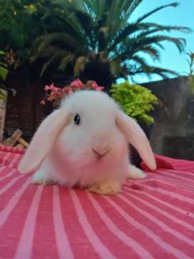 Conejos Enanos orejas caídas buenos Aires
